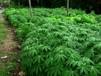 cassava-leaves-field