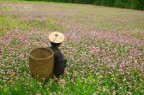 Farmer in buckwheat field
